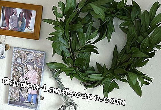 To preserve laurel leaves: harvest laurels, dry and freeze