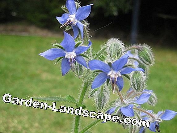 Grow borage - sowing, care, harvesting and drying