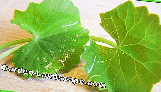 Brahmi plant, Bacopa monnieri, Small fat leaf - Care of A-Z