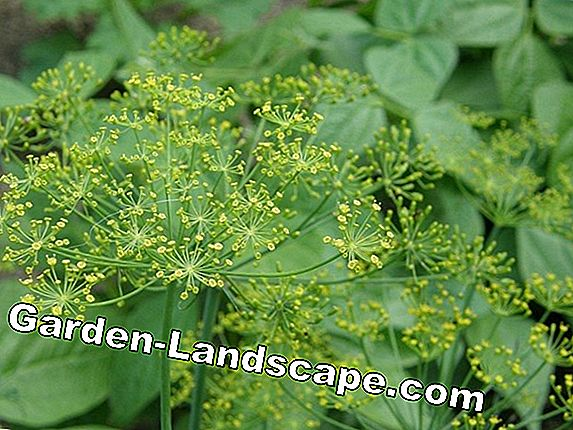 Planting dill in the garden - Tips for care