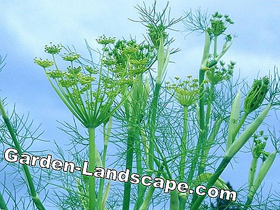 Fennel, Foeniculum vulgare - cultivation and care