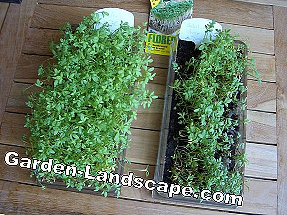Garden cress - cultivation, planting and harvesting