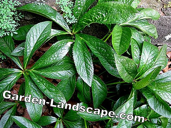 (Stinkender) hellebore - care, cutting, as a medicinal plant