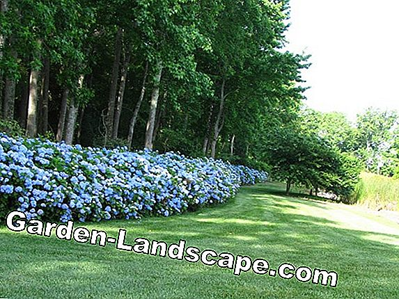 Hedge of hydrangea bushes - menciptakan hedgeensia hedge