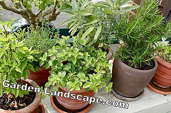 Herb cultivation - grow herbs in the garden and balcony