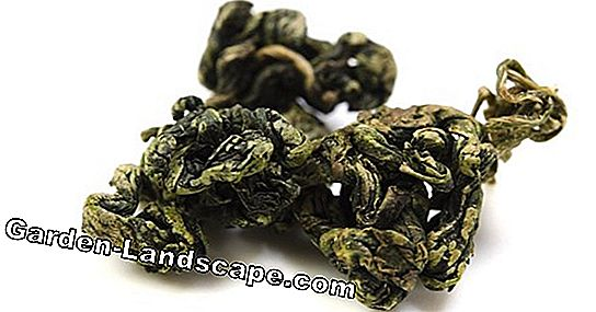 Jiaogulan tea - all about preparation, effects and side effects