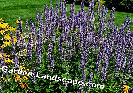 Plant lavender - this is how it works!