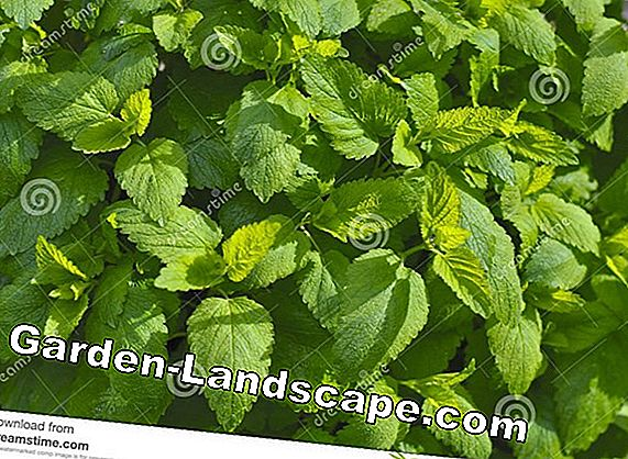 Lemon Balm, Melissa officinalis - cultivation and care