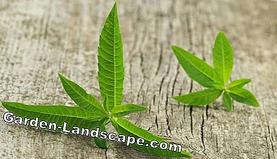 Lemon shrub, lemon verbena - care and propagation