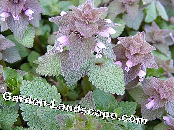 Mint flowers - is flowering mint still edible?