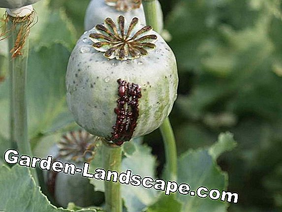 Opium poppy, Papaver somniferum - Can you grow the drug poppy?