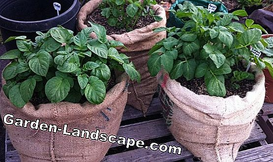 Grow oregano - care, harvest and wintering