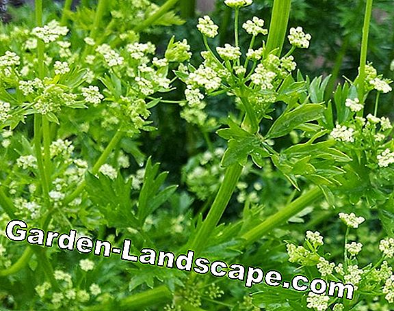 Parsley - Sowing, Care and Harvest - Tips for Freezing
