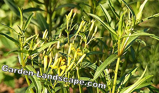 Tarragon, Artemisia dracunculus - cultivation, care and drying