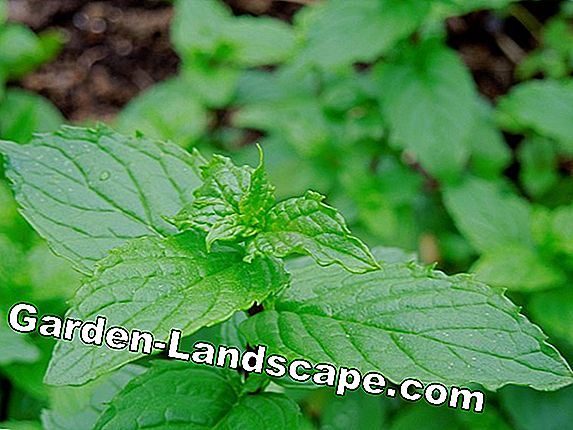 Grow and plant tea herbs yourself