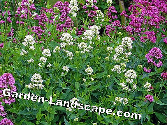Plant valerian - that's how it's done!