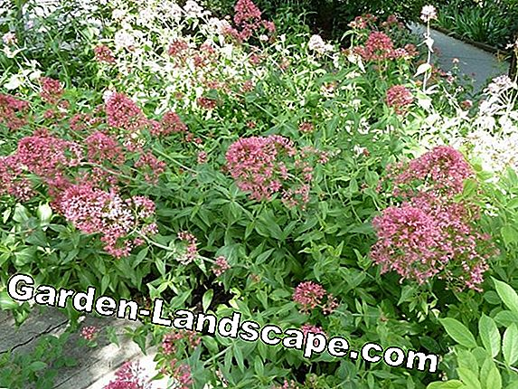 Valerian, Valeriana officinalis - plants and care