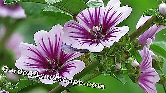 Wild Mallow, Malva sylvestris - profile and care