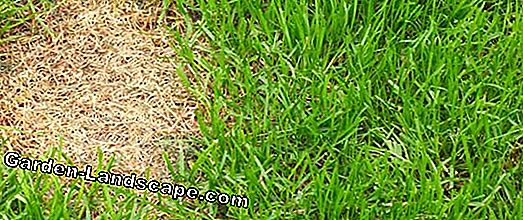 Lawn fertilizer with moss killer
