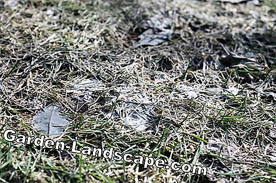 Fight snow mold in the lawn