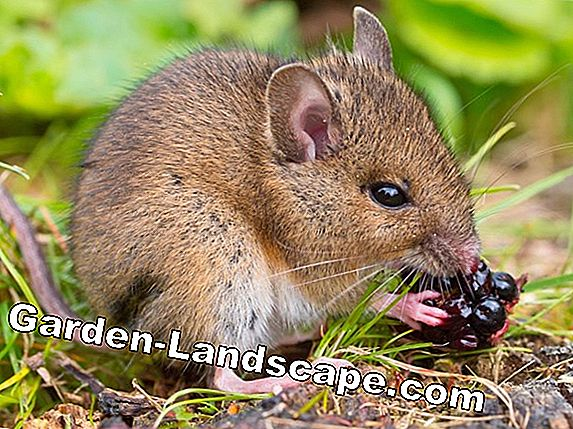 Hantavirus: Dangerous mouse feces