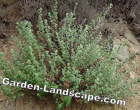 Horehound: medicinal plant of the year 2018