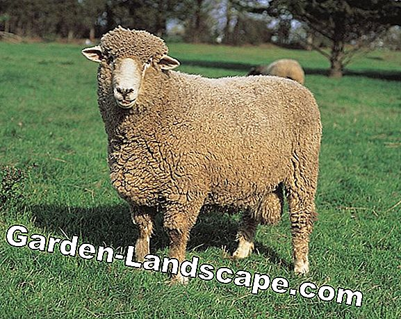 Long-term fertilizer with sheep's wool for raised beds