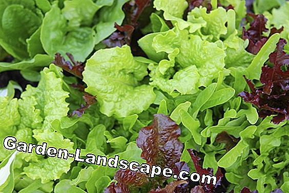 Mixed lettuce with mirabelle plums