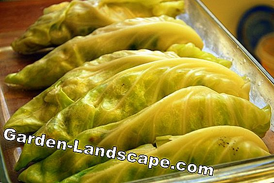 Stuffed Chinese cabbage rolls