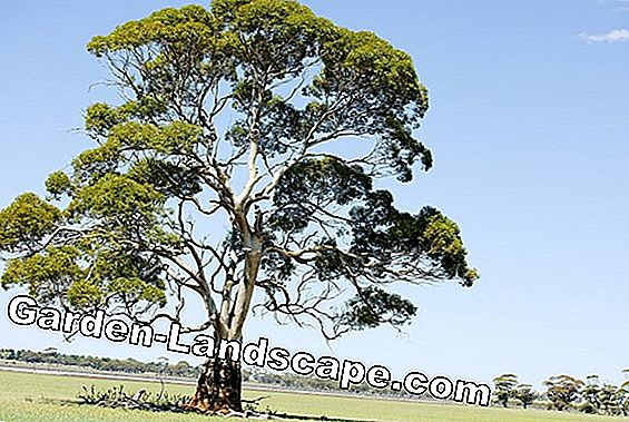 Tea tree oil: natural remedy from Australia