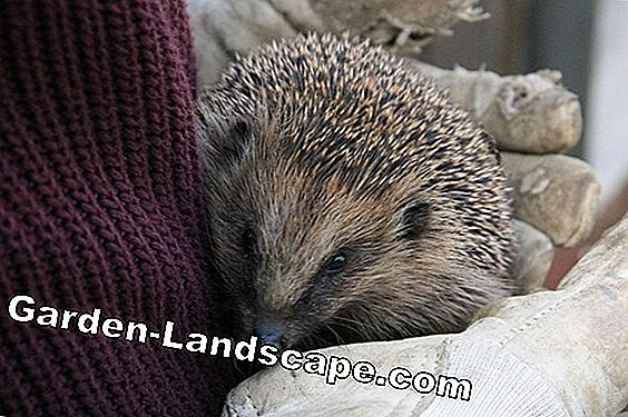 Hibernate hedgehogs + feed in winter - make hedgehog food yourself