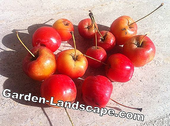 Apple tree and cherry tree as a half-stem - Care instructions
