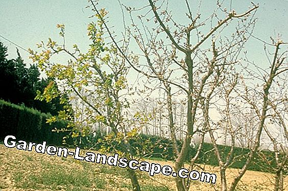 Apricot tree plants, care and diseases