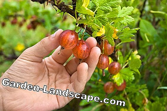 Berry bushes - Instructions for planting, fertilizing and cutting