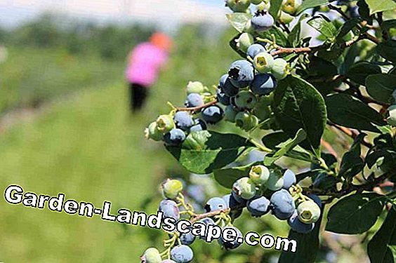 Plant blueberries / blueberries in the garden - Timing & instructions