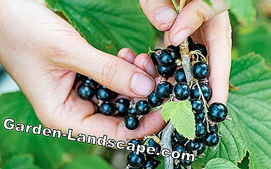 Blackcurrants - varieties, care & instructions for cutting