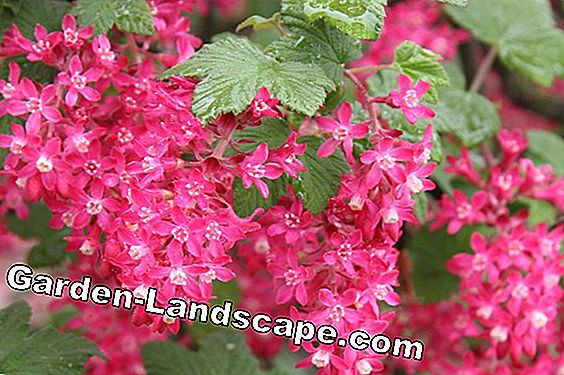 Red currant - Care of currant, Ribes sanguineum