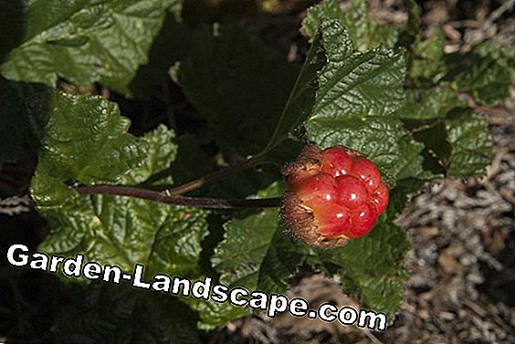 Cloudberry, Rubus chamaemorus - plants and care