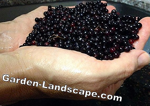 Making elderberry jam yourself