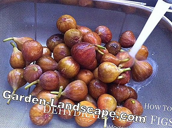 Dry figs - that's how you dehydrate with sun, oven and microwave