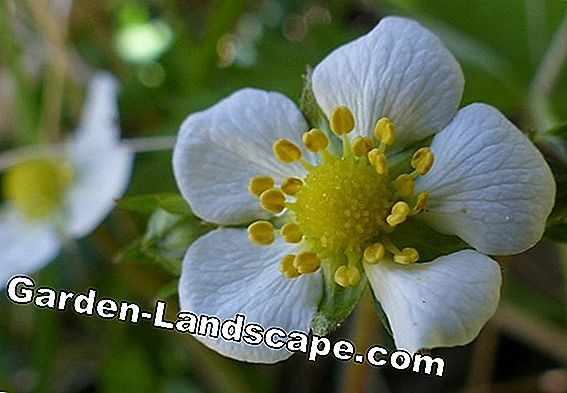 Wild strawberry, Fragaria vesca - care instructions