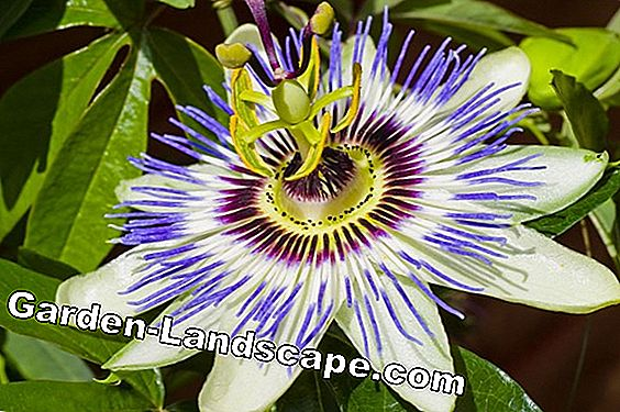 Fruits of the passion flower - multiply with seeds