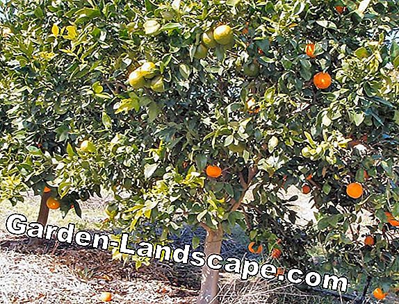 Refine fruit trees - so you graft a fruit tree
