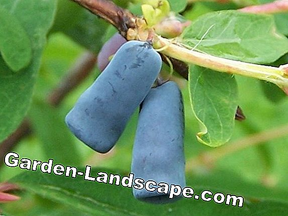 Honeyberry - planting, care & propagation