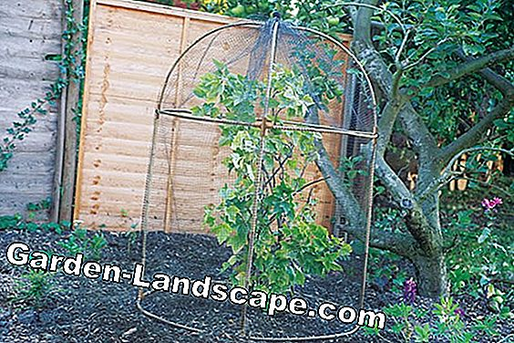 Instructions for care: Cut trellis fruit properly