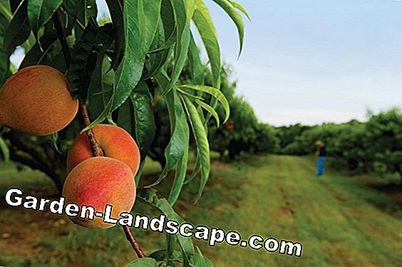 Peach tree cutting - Tips for pruning