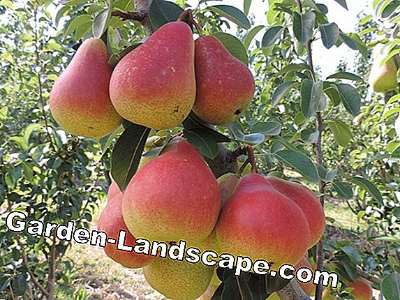 Peach varieties - Overview of robust varieties of peach