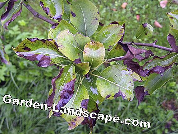 Pear tree in the garden - care