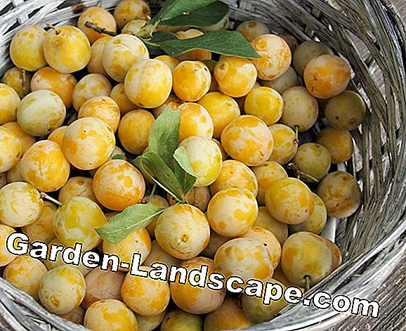 Plums, plums and mirabelles - recognize differences