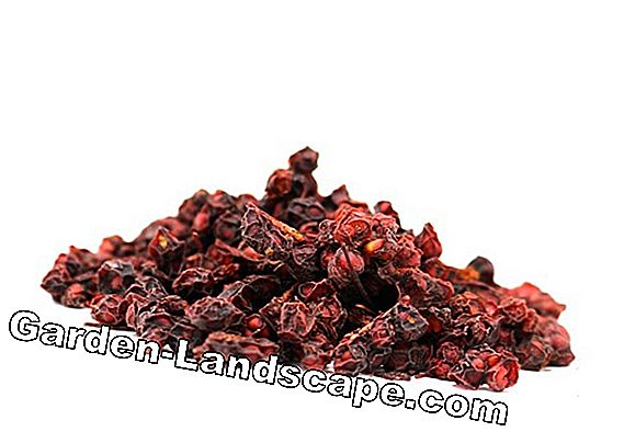 Schisandra chinensis, Wu Wei Zi berries - care guide of the plant